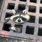 Firefighters rescue raccoon with head caught in storm drain grate